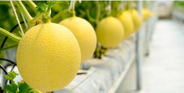 Vinaseed, công ty thuộc PAN Farm tìm nhà phân phối dưa lưới, giống dưa có vị ngon nhất thế giới