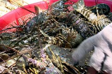 Tôm hùm ở vịnh Xuân Đài chết hàng loạt, người nuôi sốc nặng