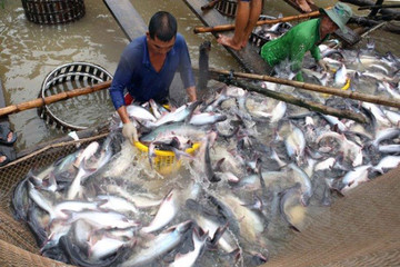 Cá tra Việt Nam đang tìm đường đến với các thị trường khó tính