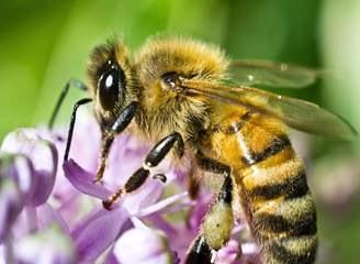 Số lượng ong Mỹ đang phục hồi sau đợt suy giảm trầm trọng