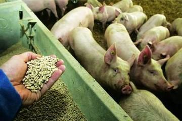 Không dùng thức ăn chứa kháng sinh kích thích tăng trưởng trong chăn nuôi