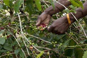 Cà phê robusta đang bị định giá tương đối thấp
