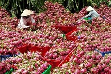 Việt Nam là nước đầu tiên và duy nhất được xuất khẩu thanh long tươi vào Úc