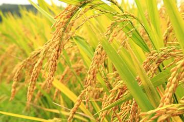 Giá lúa tháng 9 tăng nhẹ do nhu cầu nhập tăng từ Bangladesh, Philippines