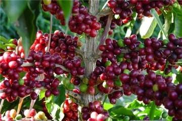 Tháng 9, giá cà phê xuống thấp nhất quý III