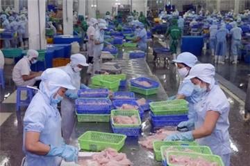 Giá cá tra nguyên liệu tăng do xuất khẩu thuận lợi