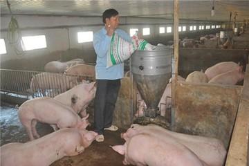 Hậu 'khủng hoảng giá lợn': 900 ngàn hộ ngừng nuôi