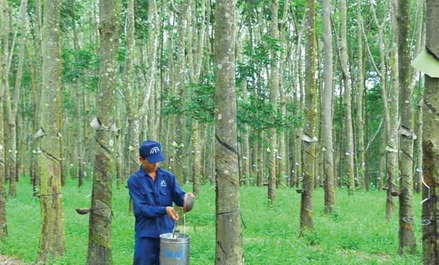 Hai cổ đông lớn bất đồng, Cao su Đồng Phú giải thể công ty gỗ