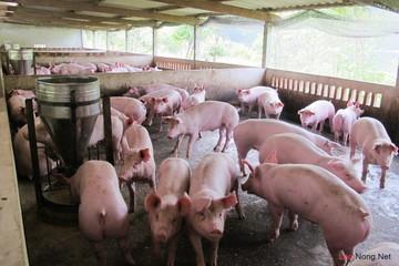 Tìm đường cho lợn xuất ngoại