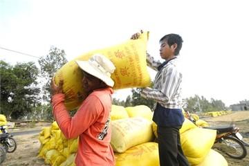 Giá lúa gạo lên cơn sốt, nông dân ĐBSCL tiếc nuối