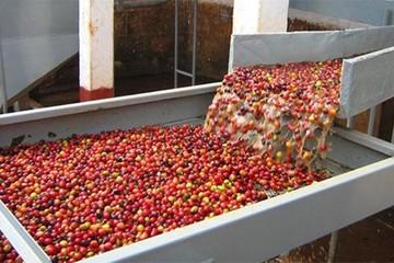 Xuất khẩu cà phê 9 tháng giảm mạnh, giá tháng 9 chạm đáy quý 3