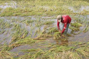 Tình hình mưa bão có thể khiến năng suất lúa nhiều nơi giảm