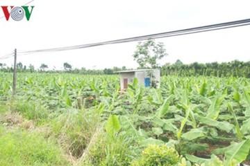 """Hậu """"giải cứu"""", diện tích chuối ở Đồng Nai tiếp tục tăng bất chấp rủi ro"""