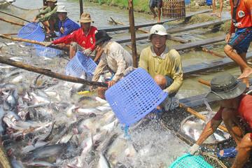 Nông dân nuôi cá tra