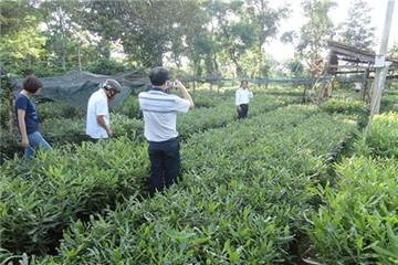 Đăk Lăk: Tạm dừng lập quy hoạch trồng cây mắc ca