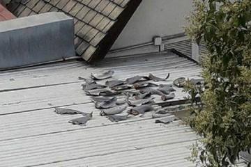 Bộ Công Thương yêu cầu xác minh gấp vụ vây cá mập phơi trên nóc nhà đại sứ quán tại Chile