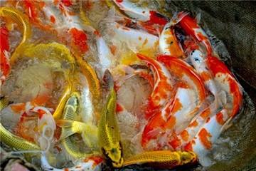 Đáng nể ông chủ 'Sông Hồng Koi Farm' sản xuất 10 tấn cá cảnh/năm, thu tiền tỷ