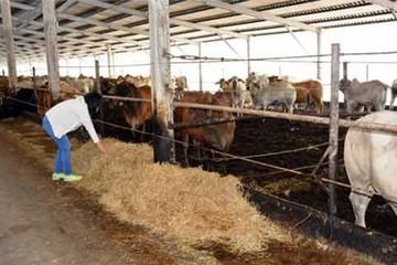 Nhập về giá 65.000 đ/kg, bán lỗ 2.000 đ/kg, vỗ béo bò Úc