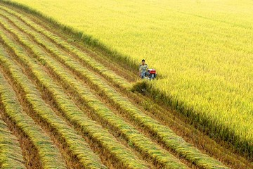 Giá gạo xuất khẩu châu Á đồng loạt giảm mạnh