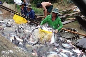 Giá cá tra nguyên liệu tăng kỷ lục