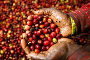 Giá tiêu tiếp tục giảm mạnh, cà phê tăng trở lại