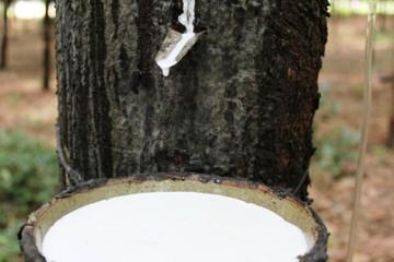 Doanh nghiệp cao su thiên nhiên đặt kế hoạch thận trọng