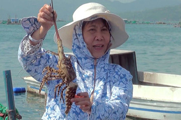 Tôm hùm chết hàng loạt ở Phú Yên