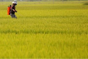 Giá gạo xuất khẩu của Việt Nam tiếp tục giảm