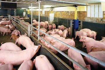 Thành phố Bắc Kinh đóng cửa hơn 300 trang trại nuôi lợn