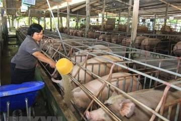 Giá lợn ở Tiền Giang tiếp tục tăng mạnh