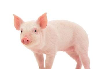 Giá lợn hơi tuần đến 27/5/2018 tiếp tục khởi sắc