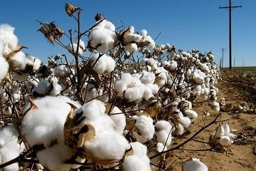 Nông dân Mỹ quay lưng với lúa mì, chuyển sang trồng bông