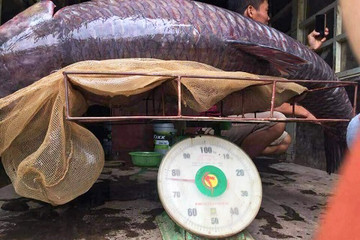 Ngư dân Yên Bái bắt được cá trắm đen nặng hơn 70 kg
