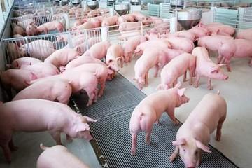 Giá lợn hơi ngày 11/6/2018 ổn định ở mức 48.000 - 50.000 đ/kg