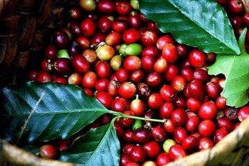 Giá đã tăng trở lại nhưng người trồng cà phê vẫn nhiều mối lo