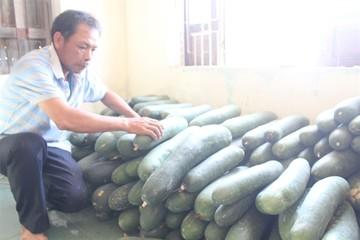 Người dân Quảng Nam khốn đốn vì bí đao rớt giá thê thảm