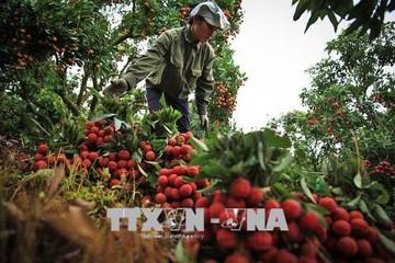 Bắc Giang đạt doanh thu trên 5.400 tỷ đồng từ vải thiều và dịch vụ hỗ trợ