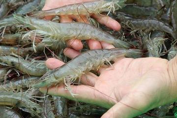 Kuwait tạm ngừng thông quan tôm xuất xứ từ Việt Nam