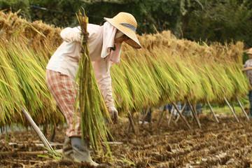Vào rộ vụ hè thu, giá gạo xuất khẩu của Việt Nam 'hạ nhiệt'