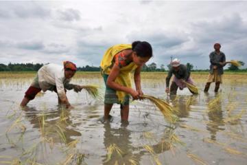 Giá gạo xuất khẩu của Việt Nam xuống thấp nhất gần một năm
