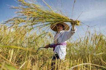 Giá bắt đầu ổn định, gạo Việt Nam dần lấy lại sức cạnh tranh trên thị trường xuất khẩu