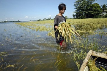 Sản lượng lúa gạo của Việt Nam không bị ảnh hưởng nhiều bởi vụ vỡ đập thủy điện Lào