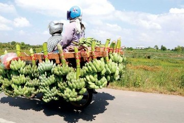Campuchia đạt thỏa thuận xuất khẩu chuối sang Trung Quốc, HAGL hưởng lợi?