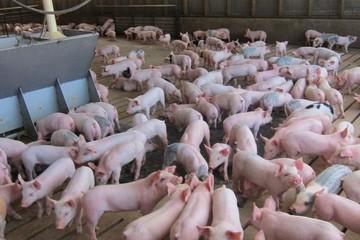 Bộ Nông nghiệp: Không đẩy giá heo vượt ngưỡng 50.000 đồng/kg