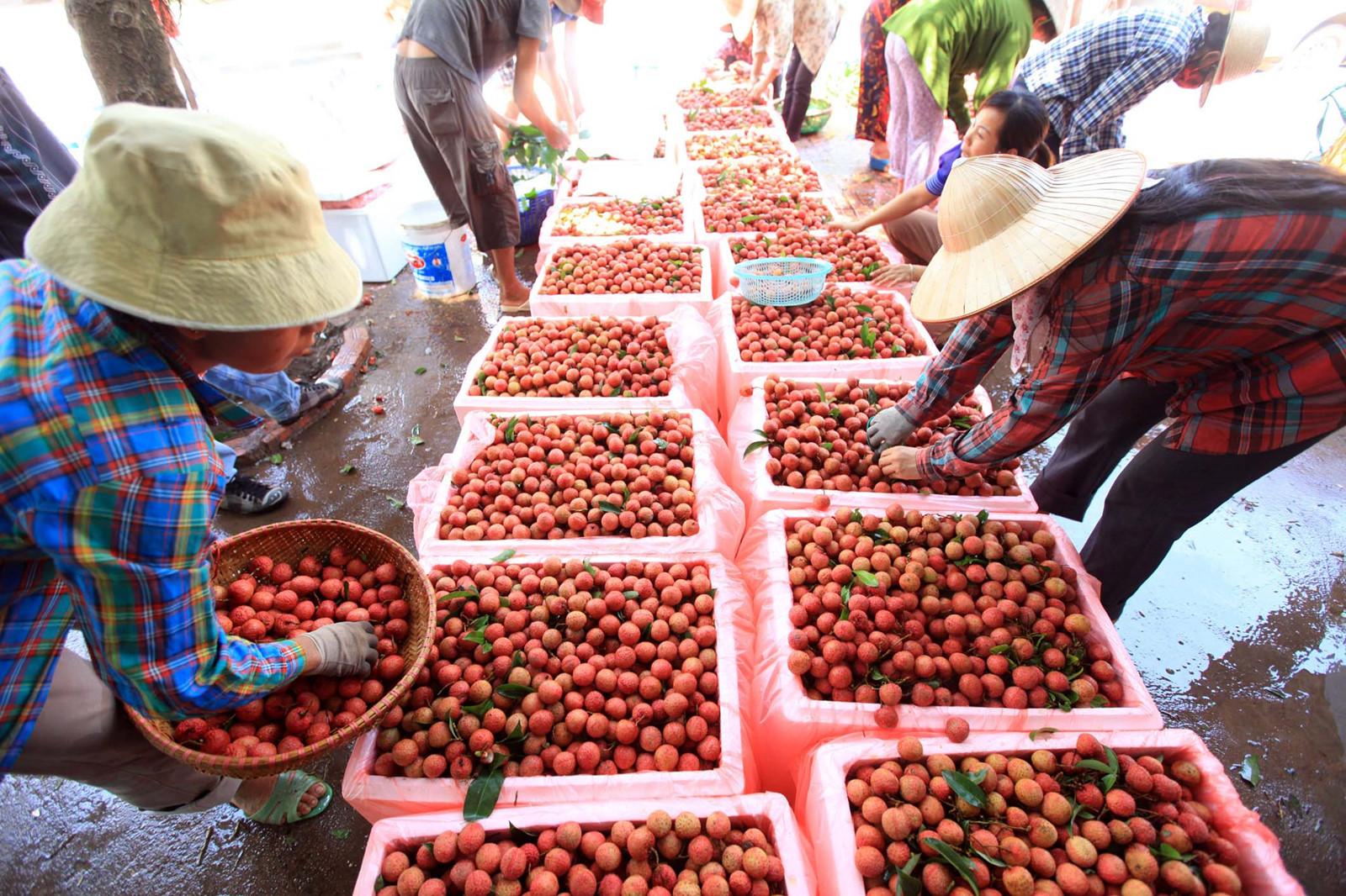 Trung Quốc 'bao tiêu' hơn 90% thị trường xuất khẩu quả vải Việt