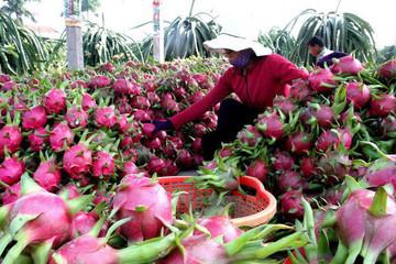 Thanh long Việt Nam tiếp tục bị cảnh báo dư lượng thuốc bảo vệ thực vật