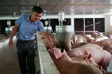 Giá lợn hơi tăng, Cục Chăn nuôi khẳng định ngành nuôi lợn thắng lớn
