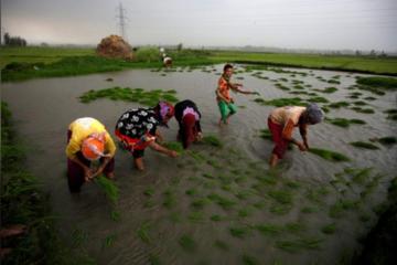 Giá gạo xuất khẩu của Việt Nam sẽ tăng trong những tuần tới