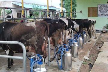 Bi quan vào triển vọng giá sữa