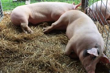 Nhật Bản ngừng xuất khẩu thịt heo, tiêu hủy hơn 500 con nhiễm cúm